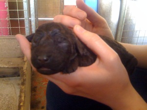 Photo of an Irish Water Spaniel puppy.